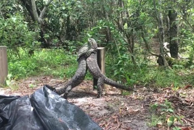 Rival lizards wrestle for the affections of a female in Australia. Screenshot: Sunshine Coast Snake Catchers 24/7/Facebook