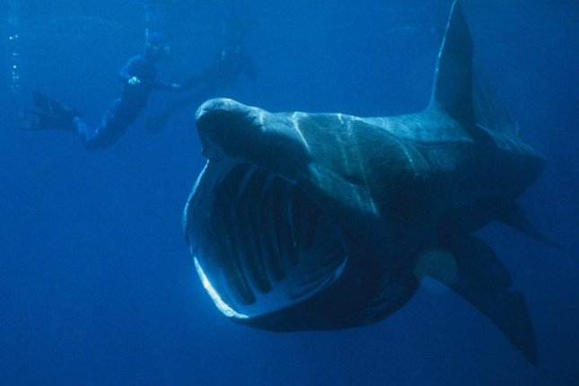 Scientists believe Gladbachus looked and acted like a primitive basking shark -- only it was the size of a sardine. Photo by Chris Gotschalk/Wikimedia