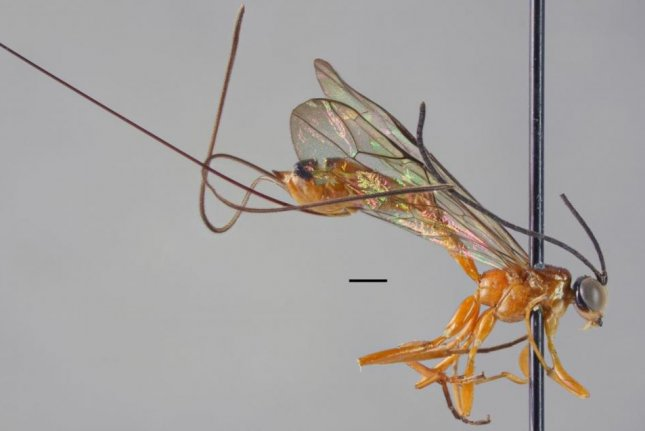 The Epirhyssa johanna wasp is one of two new parasitic wasp species discovered in Uganda. Photo by Hopkins et al./ZooKeys