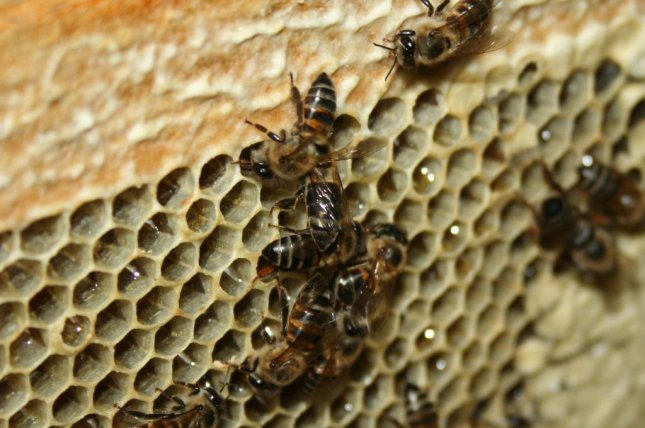 Cape honey bees, a subspecies from South Africa, can asexually produce daughters. Photo by Discott/Wikimedia Commons