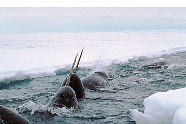 The long single tusk of the narwhal whale is for sexual selection, Arizona State University researchers concluded in a study released on Wednesday. Photo courtesy of Harvard University Gazette