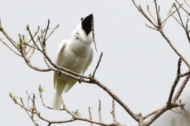 The white bellbird, native to the mountains of northern Brazil, boasts the loudest call yet recorded. Photo by Anselmo d'Affonseca