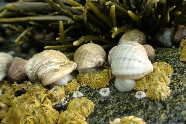A variety of shellfish on the Maine coast, including mussels, dogwhelks, barnacles and periwinkles, have been slowly declining over the last 20 years. Photo byJonathan A. D. Fisher