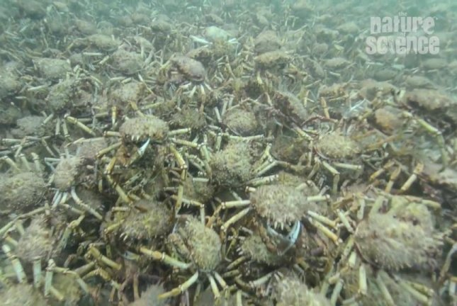 Hundreds of thousands of giant spider crabs gather on the floor of Port Phillip Bay, and now in your nightmares. Screenshot: Storyful
