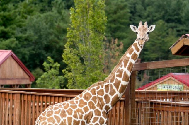 April the Giraffe, a live stream sensation, died Friday at age 20. Photo courtesy of Animal Adventure Park/Facebook
