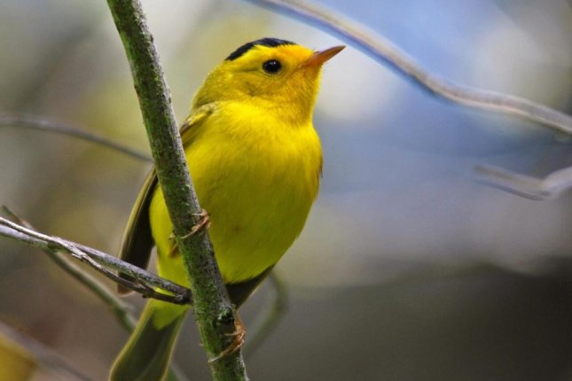 Birdsong playing through hidden speakers on a pair of Colorado trails, including the melodies of Wilson's warbler, promoted greater feelings of well-being among hikers. Photo by Dave Keeling