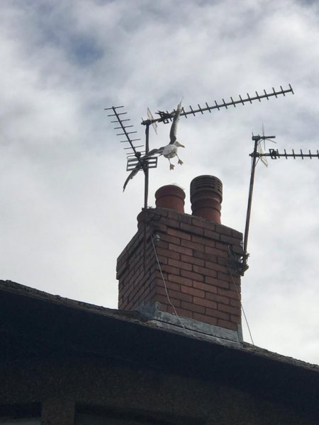 Firefighters in Wales came to the rescue of a seagull that became impaled on a rooftop TV antenna. Photo courtesy of the RSPCA
