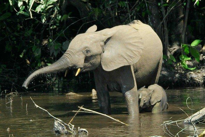 Forest elephants. Credit: Thomas Breuer, Wikipedia, Creative commons