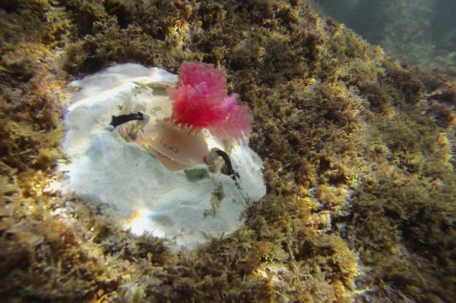 Researchers are installing small plastic structures meant to mimic natural coralline algae off the coast of Italy. Photo courtesy University of Portsmouth