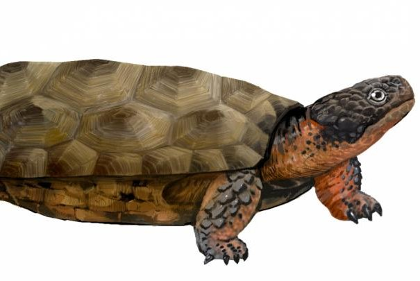 An artistic rendering shows what the newly discovered toothed turtle species Sichuanchelys palatodentata might have looked like. Photo by Lida Xing