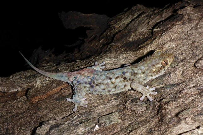 A rarity, a Geckolepis megalepis specimen with all of its scales in place. Photo by F. Glaw/PeerJ