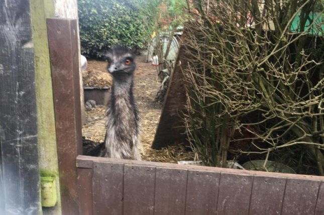Animal rescuers in Britain said they found a new home for an emu found to be living in a resident's back yard with a flock of chickens. Photo courtesy of the RSPCA