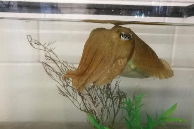 Cuttlefish are able use self-control to delay gratification, ignoring an immediate reward in hopes of a bigger reward later. Photo by Alexandra Schnell