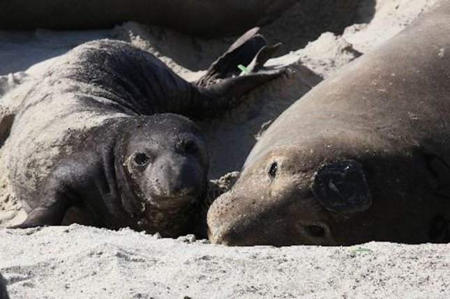 Phyllis lounges in the sand with her newborn pup. Photo by UC-Santa Cruz