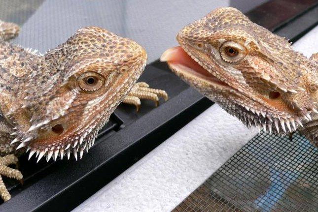 Australian bearded dragons (CC/Steve Jurvetson)