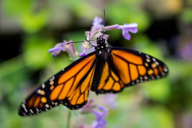 The U.S. Department of Fish and Wildlife will rule in December 2020 whether monarch butterflies warrant federal protection under the Endangered Species Act. Photo courtesy of the U.S. Fish and Wildlife Service Midwest field office