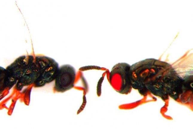 Scientists augmented the genes of jewel wasps using CRISPR technology and successfully turned their eyes red. Photo by Akbari/UCR