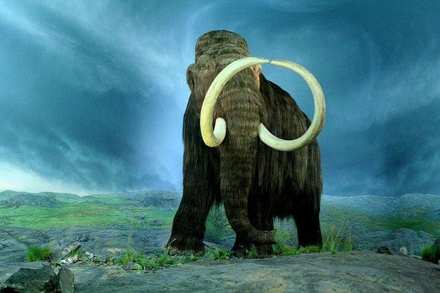 New research cast doubt on the idea that an intercontinental meteor strike caused the extinction of the wooly mammoth. Photo by Tracy O/Flickr.