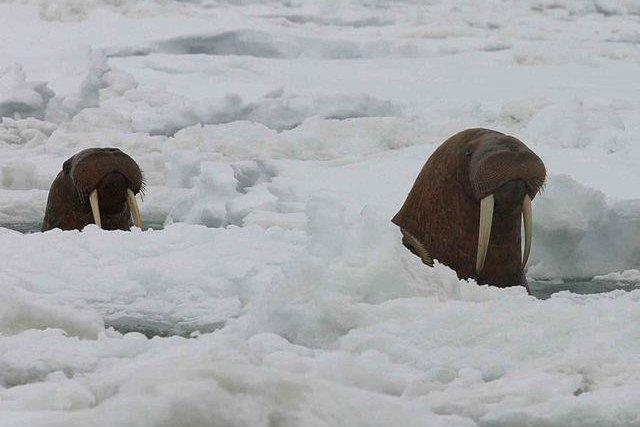 Two Pacific walruses break through ice along the Alaska coast. (Joel Garlich Miller/U.S. Fish and Wildlife Service)