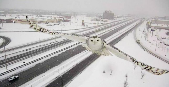 Montreal traffic camera's captured rare photographs of a snowy owl flying along Highway 40. Photo By Robert Poëti/Facebook