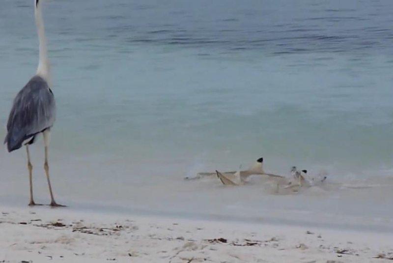 A heron watches some small sharks enjoy its abandoned fish. Screenshot: JukinMedia