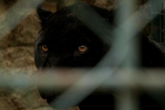 Police in Spain are searching the area around the village ofVenta de Huelma after multiple sightings of a black panther on the loose. Photo byEelffica/Pixabay.com