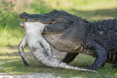 watch massive alligators attack and eat smaller gators upi com