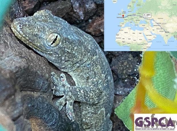 A gecko stowed away in a couple's luggage from India to Guernsey, an island in the English Channel. Photo courtesy of GSPCA