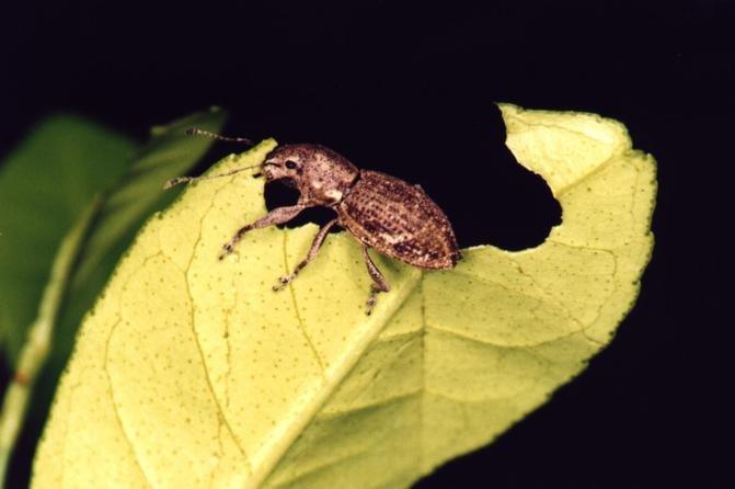Some species of white fringed beetles, a common invasive weevil, reproduce asexually. Photo byAnalia Lanteri/Facultad de Ciencias Naturales y Museo de La Plata, Argentina