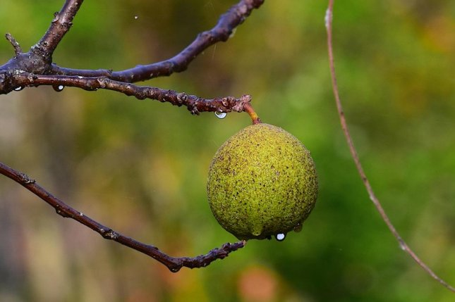 Jesse Peterson of Middleton, Wis., combined a walnut removal service with a nut selling business to remove fallen walnuts from local yards free of charge so he can sell them online and at farmer's markets. Photo bybones64/Pixabay.com