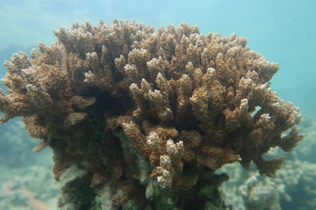 A new method of testing could help detect coral bleaching similar to that seen on the rice coral Montipora capitata in waters near the Hawai'i Institute of Marine Biology on Moku o Lo'e in Kāne'ohe Bay, Hawaii. Photo by D. Bhattacharya