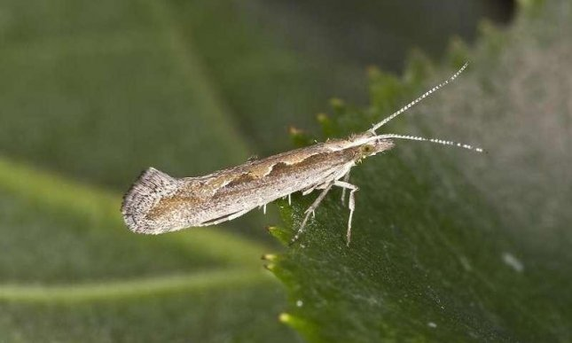 A diamondback moth prepared to destroy some crops. Photo by Olei/Wikipedia/CC