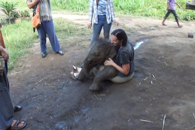 Playful baby elephant sits on woman's lap in Thailand