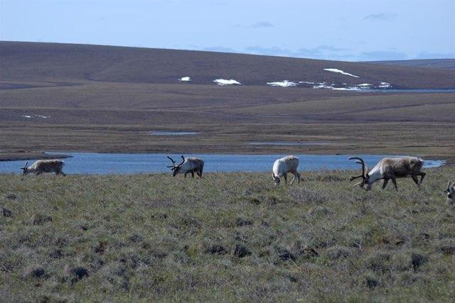 Caribou forage on the Arctic Coastal Plain near the Dalton Highway, North Slope of Alaska. Photo by Dave Gustine/U.S. Geological Survey