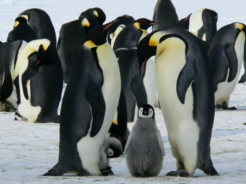Study: Climate change accelerates emperor penguin extinction risk