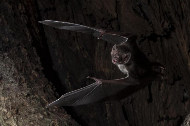 Vampire bats self isolate when they're sick, according to a new study. Photo by Sherri and Brock Fenton/Behavioral Ecology