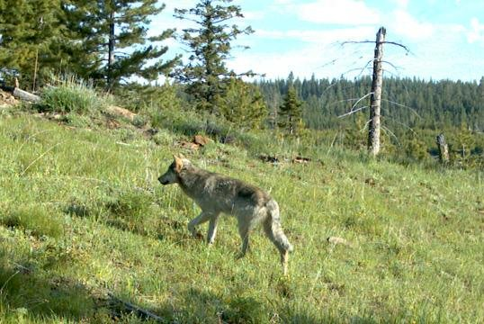A farmer in Washington State is being investigated for reportedly shooting and killing a wolf. (ODFW)
