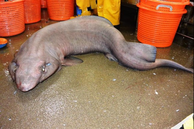 A false catshark hadn't been seen in 15 years. Photo by Scottish Shark Tagging Programme