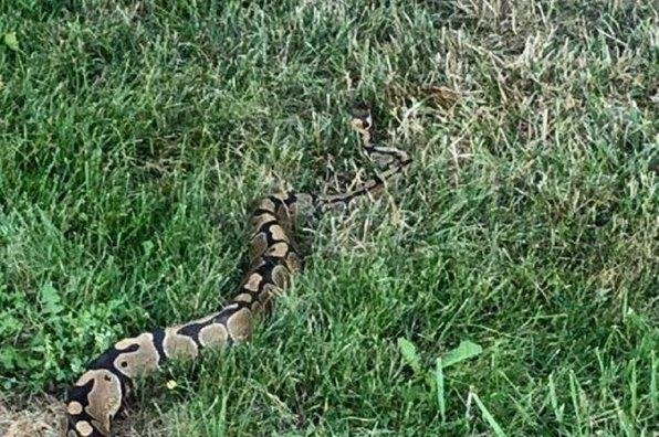 Niagara Regional Police Service announced in an update that a ball python snake missing since late last month has been located in Lincoln unharmed. Photo courtesy of NPRS/Twitter