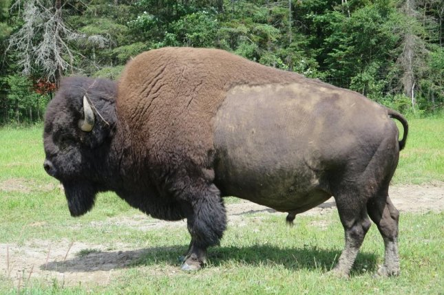 Police in German Township, Ohio, responded to reports of a loose bison in the community and discovered it had escaped from a farm about 4 miles away. Photo by chridan/Pixabay.com