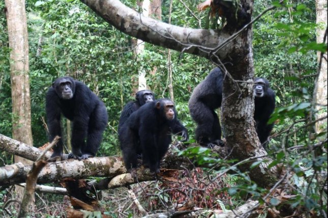 Groups of chimpanzee often fight over territory, but the apes are also known to cooperate with non-kin groups to defend territory against mutual rivals. Photo by Liran Samuni/MPG
