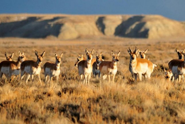GPS mapping of migratory routes for Wyoming pronghorn and other large ungulates have helped western states build wildlife crossings. Photo by Tom Koerner, courtesy of U.S. Fish and Wildlife Service