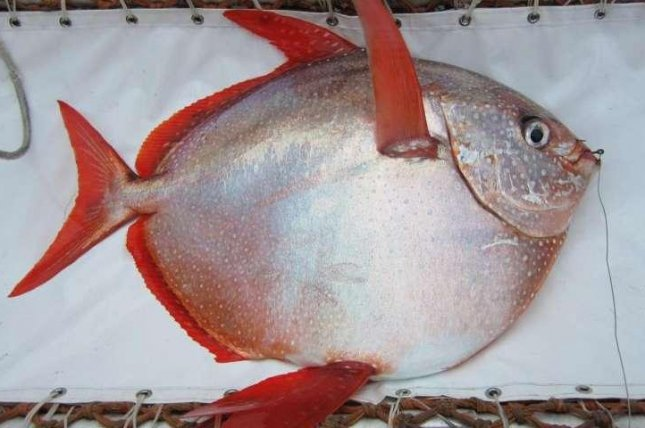 An opah, caught off the coast of Southern California during a NOAA survey. Photo by NOAA Fisheries/Southwest Fisheries Science Center