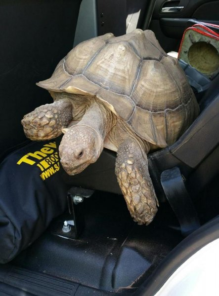 A tortoise apprehended after a slow chase in Grover Beach, Calif. Photo by the Grover Beach Police Department/Facebook