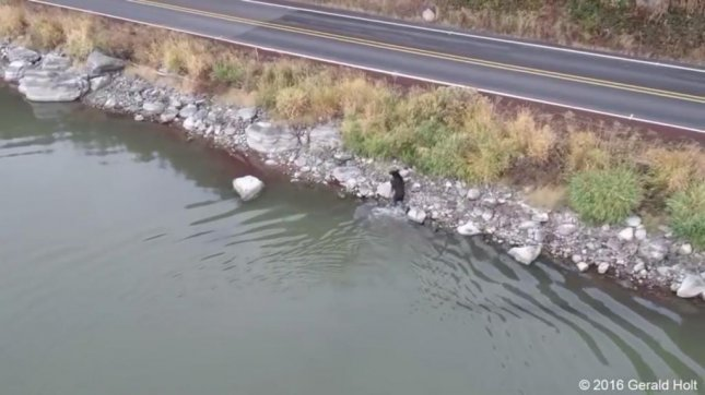 A bear climbs out of the water after a swim in an Oregon lake. Screenshot: Storyful