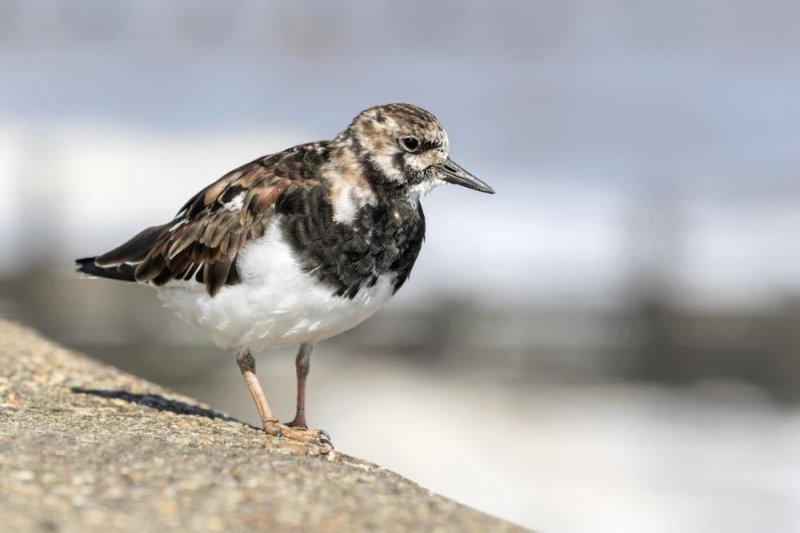 Turnstones, medium-sized wading shorebirds, travel to western Alaska each year to breed. Photo by David Osborn/Shutterstock
