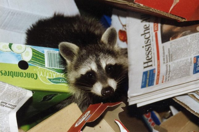 A Toronto bank branch that has been closed since late August revealed the cause -- a family of raccoons had broken in and made their home in the ceiling. Photo by Elwitsch/Pixabay.com