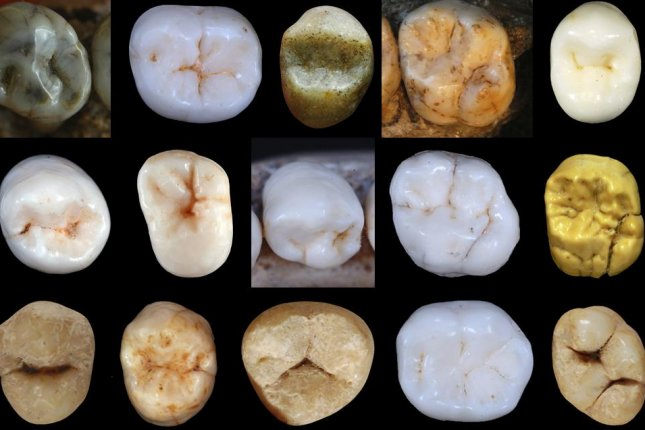 New analysis of ancient hominin teeth recovered from a Spanish cave suggests Neanderthals and modern humans diverged at least 800,000 years ago. Photo by UCL