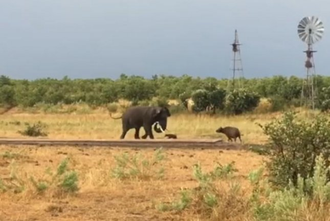 An elephant backs off a confrontation with a feisty baby buffalo in South Africa. Screenshot: Kruger Sightings/YouTube