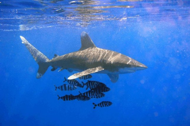 An oceanic whitetip shark (Carcharhinus longimanus) at Elphinstone Reef in Egypt in the Red Sea on Nov. 5, 2003. On March 22, 2015, a German tourist was killed in a shark attack off Egypt's Red Sea coast, where whitetips are abundant. Photo by Thomas Ehrensperger/CC/Wikimedia Commons